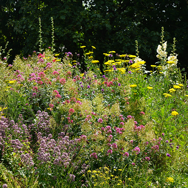 Cottage Garden Perennial Meadow