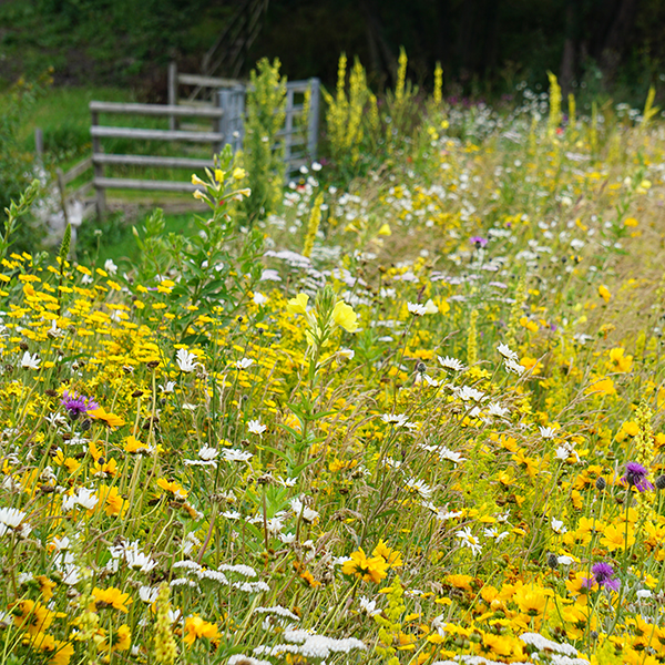 Golden Summer Perennial Meadow