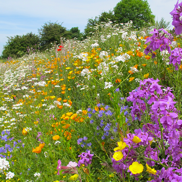 Magic Carpet Perennial Meadow