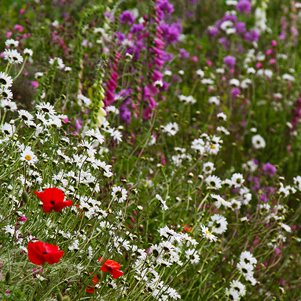 Native Meadow Perennial Meadow