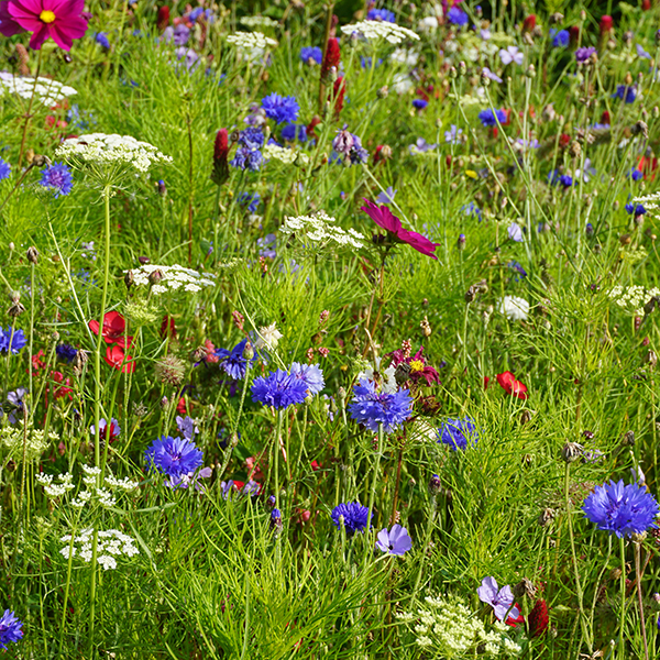 Patriotic Annual Meadow