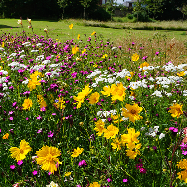 Pictorial Prairie Perennial Meadow