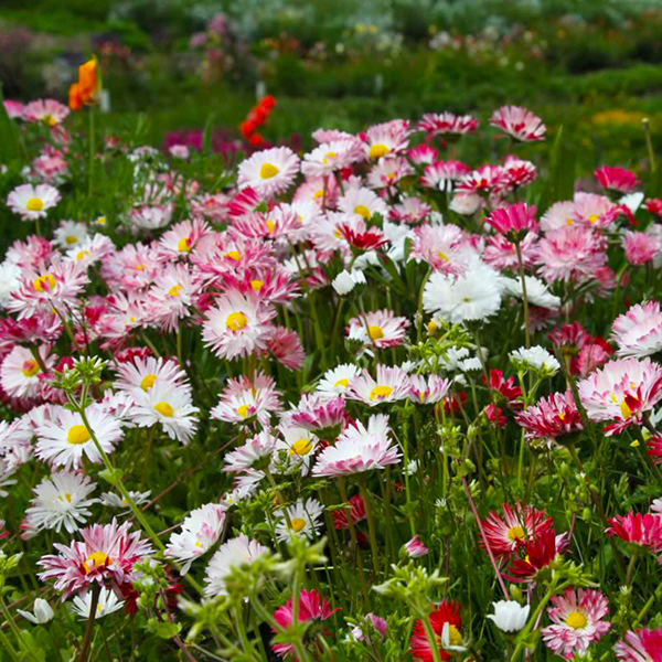 Pollinator Lawn Perennial Meadow