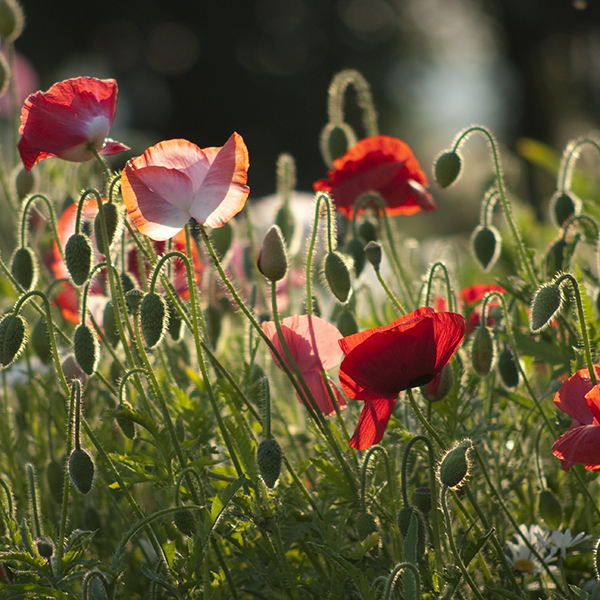 Remembrance Annual Meadow