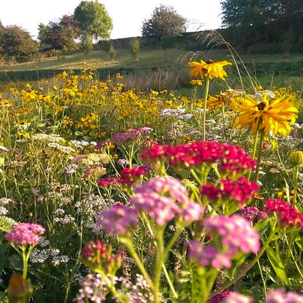 Tuscan Hills Perennial Meadow